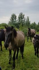b_135_250_16777215_00_images_stories_Nederland_Flevopolder_paarden1.jpg