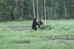 Beren Fins-Lapland
