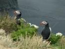Papegaaiduikers in IJsland