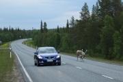 Rendier Fins-Lapland