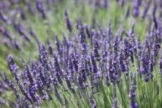 Lavendel / Puur op reis