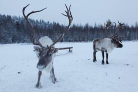 b_275_184_16777215_00_images_stories_Finland_noordkarelie_noordkarelierendieren2.jpg