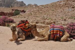 Puur op reis: kamelen in Petra