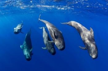 Walvissen en dolfijnen spotten bij Tenerife©Cetáceos Sur Tenerife