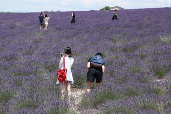 Toeristen tussen lavendel / Puur op reis