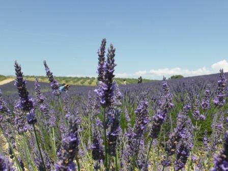 Lavendel in de Procence
